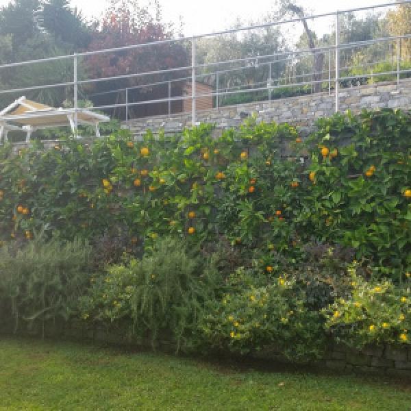 Muro con limoni a spalliera