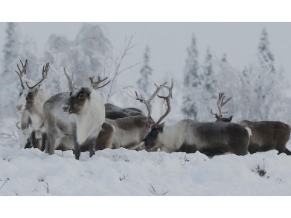 Natale, le renne sono in pericolo a causa del cambiamento climatico