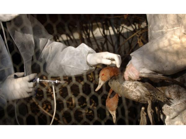 Perché non usare vaccini speciali sugli animali selvatici per evitare nuove pandemie?