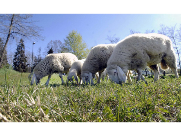 Pecore e mucche per l'erba, Roma fra Mumbai e il Connemara