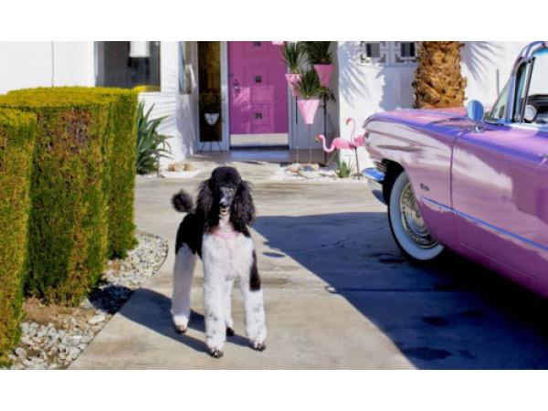 La dura vita dei cani di Palm Springs