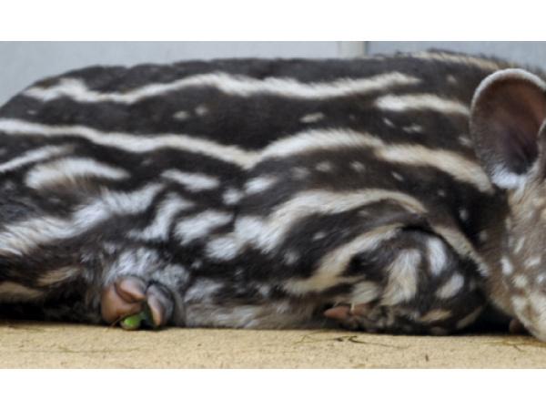 Rallegratevi, è la giornata dedicata al tapiro