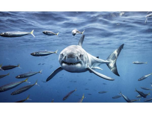 Lo squalo bianco ha il terrore dell'orca assassina