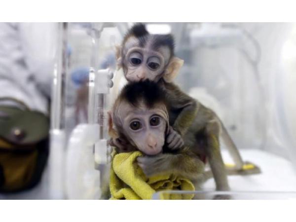 In Cina sono nate 5 scimmie clonate, geneticamente modificate per essere insonni