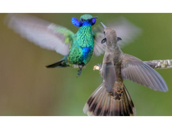 Il becco dei colibrì non è più un enigma per la scienza