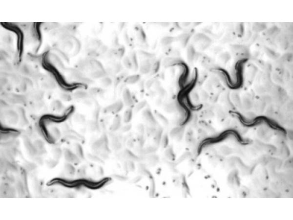 Un cocktail di farmaci allunga la vita ai vermi e non li fa invecchiare