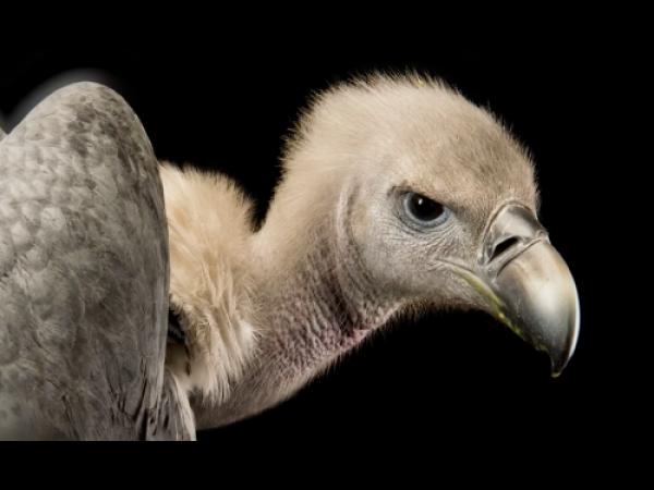 Il grande progetto per salvare gli avvoltoi