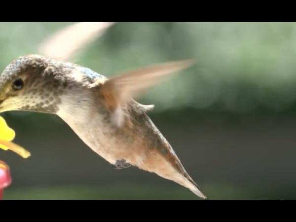 La fisica del volo del colibrì spiegata in un video