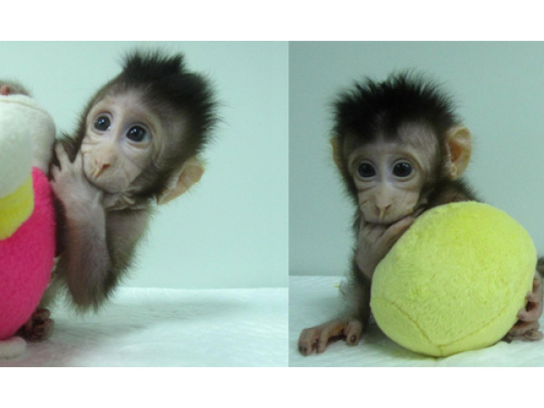 Le prime scimmie clonate con la stessa tecnica della pecora Dolly