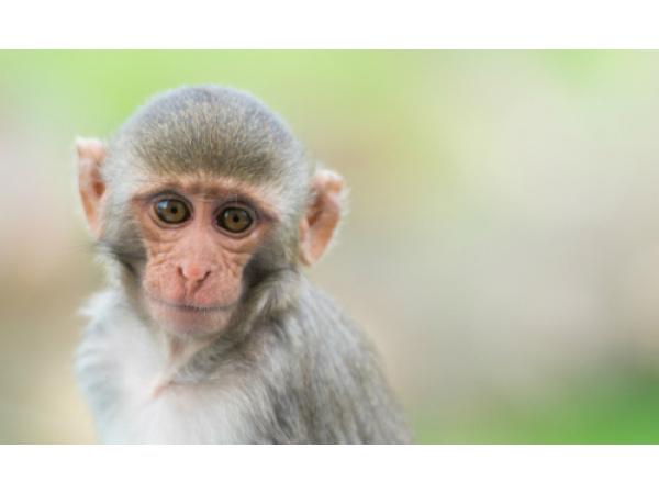 La Cina sta creando scimmie con geni umani nel cervello: saranno più intelligenti?