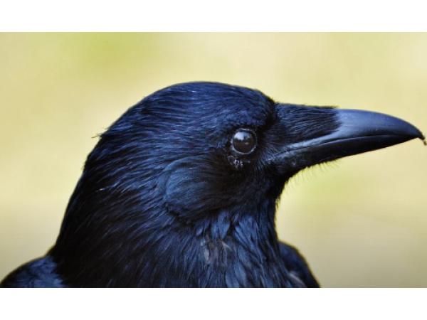Com'è fatto il cervello di un uccello?