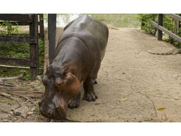 In Colombia hanno un grosso problema con gli ippopotami di Pablo Escobar