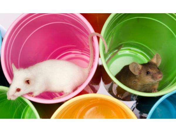 Uno studio mostra i danni al cervello (dei topi) causati dall'isolamento sociale