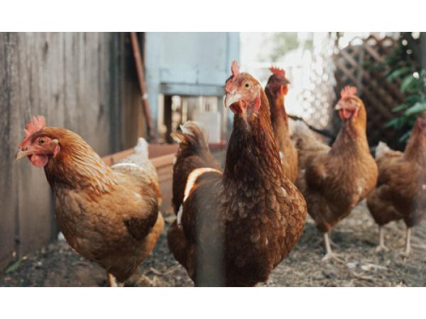 Influenza aviaria, in Cina la prima infezione umana dal ceppo H10N3