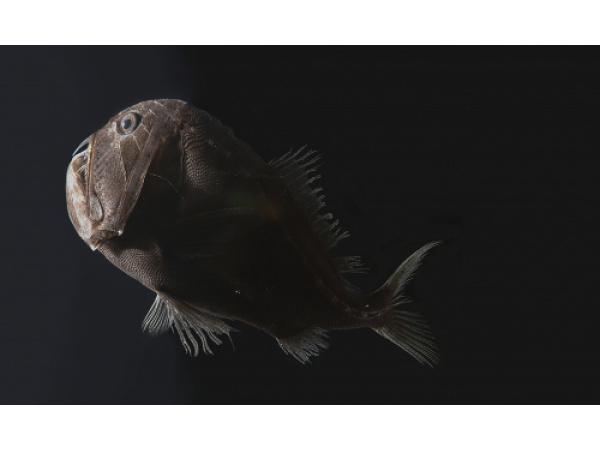 "Gli oceani profondi ospitano pesci ""ultra-neri"""