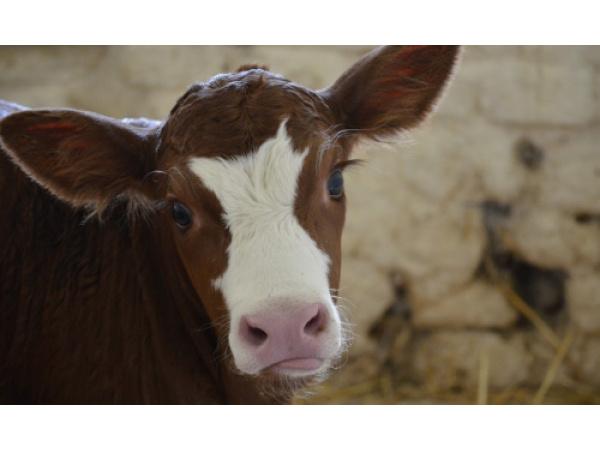 Insegnare alle mucche a usare la toilette è più utile di quanto pensiamo
