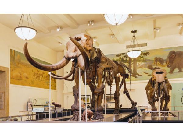 Una startup americana vuole creare un ibrido elefante-mammut in laboratorio